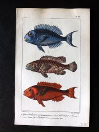 Lacepede & Oudart C1830 Hand Col Fish Print. Parrotfish 89